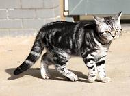 虎猫的繁衍方式,虎猫繁殖需要多长时间