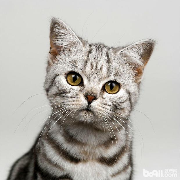 猫咪交配的知识,猫咪交配要注意什么