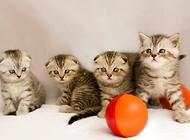 苏格兰折耳猫繁殖的注意事项