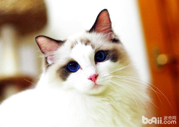 布偶猫的产后护理,必威体育appios产后护理介绍