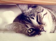 宠物猫之雪鞋猫,雪鞋猫有什么特点
