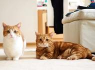 宠物猫之短腿猫,短腿猫特点