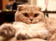 宠物猫之苏格兰折耳猫图片及品种讲解