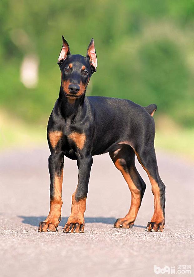 杜宾犬幼犬该怎么养