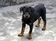 罗威纳犬的个性及饲养须知