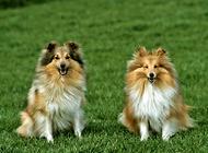 苏格兰牧羊犬的颜色