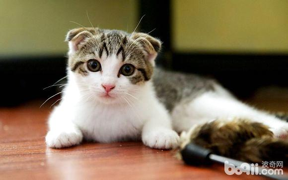 如何判断苏格兰折耳猫遗传性骨骼疾病