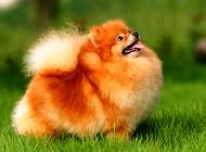 博美犬洗澡应注意四个事项 喂养博美犬