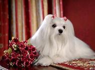 马尔济斯犬的美容护理