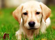 拉布拉多猎犬喂食要点注意