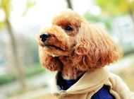 判断贵宾犬是否纯种方法