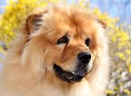 挑选一只纯种松狮幼犬