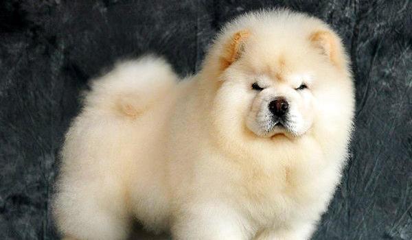 松狮犬怎么看纯种_松狮犬怎么看纯不纯|狗狗品种-波奇网百科大全