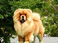 赛级松狮幼犬怎么辨别
