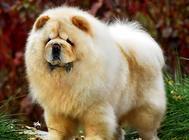 松狮犬怎么看纯不纯