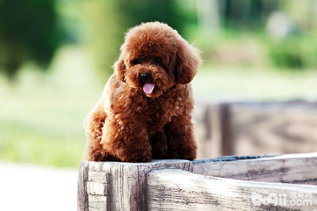 为什么选择贵宾犬 贵宾狗狗好养吗