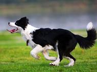 边境牧羊犬怎么美容 好饲养吗