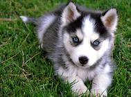 给阿拉斯加雪橇犬梳毛