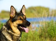 狗狗伤口发炎怎么办 怎么治疗