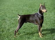 波音达犬美容多少钱 如何饲养