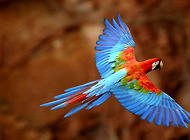 金刚鹦鹉多少钱一只?都有什么颜色?
