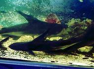 淡水观赏鲨鱼有几种?宠物鲨鱼有哪些?
