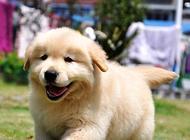 金毛幼犬价格类别及影响因素