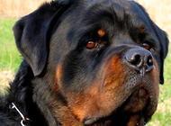 罗威纳犬多少钱一只?