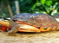 金钱龟多少钱一只?如何辨别家养和野生?