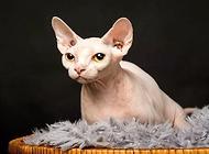 史上最丑的貓,加拿大無毛貓多少錢