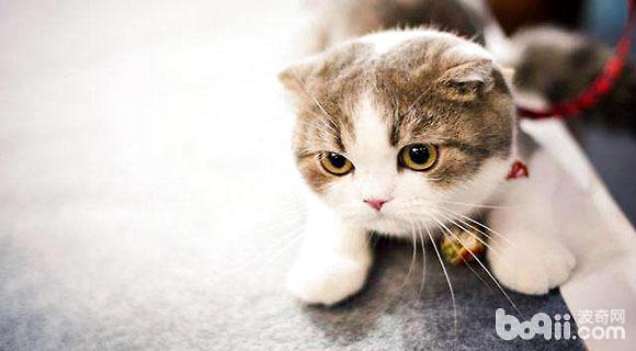 猫中的折耳小天使苏格兰折耳猫