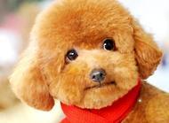 泰迪犬市场价格?怎样挑选一只好的泰迪犬
