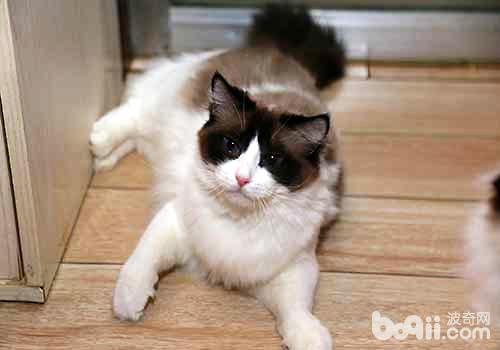 布偶猫有两种致命遗传病你知道吗