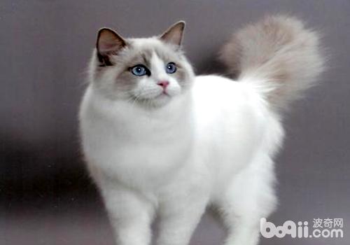 布偶猫为什么不能养,不适宜养布偶猫的四大理由
