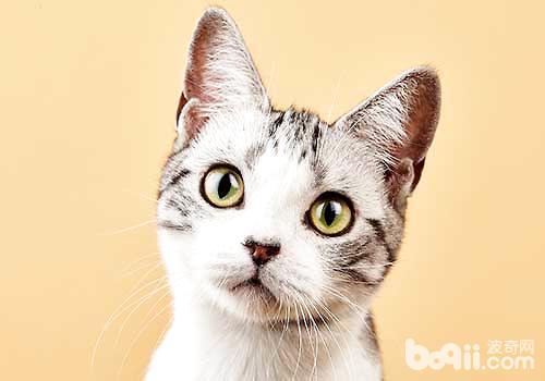 美短猫多少钱一只?