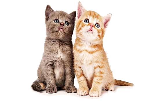 你知道公猫和母猫的区别吗?
