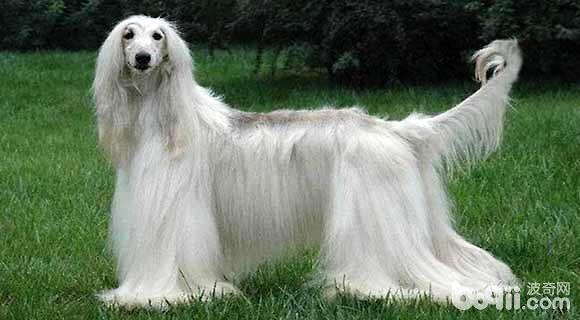 阿富汗猎犬一只多少钱?