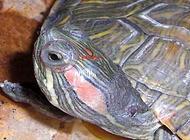 巴西龟得了白眼病怎么办?巴西龟白眼病如何治疗?
