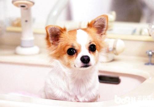 小型宠物犬推荐 聚焦六大热门小型宠物犬