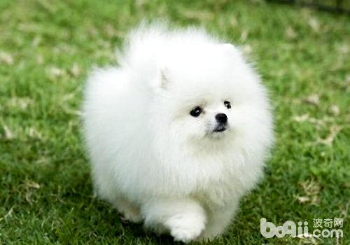 一只小博美犬多少钱?怎么饲养?