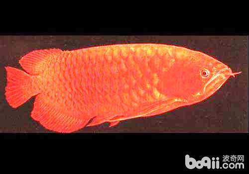 血龙鱼是什么鱼?血龙鱼多少钱