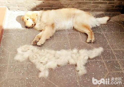 不掉毛的宠物狗有哪些?这几种狗狗任你选