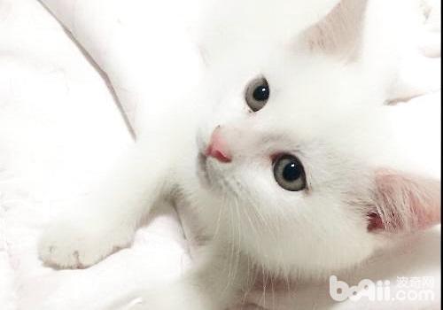 中华田园猫.jpg