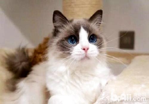 布偶猫多少钱一只?布偶猫饲养注意事项?
