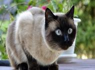 暹罗猫性格怎么样?暹罗猫多少钱一只?