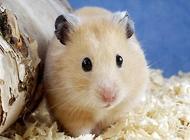 仓鼠的寿命是多少?饲养注意事项有哪些?