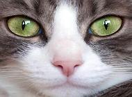 为什么说千万不要去看猫的眼睛