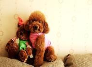 泰迪犬怎么养?泰迪幼犬喂养方法