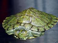 巴西龟冬天怎么养?应该注意什么?