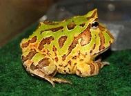 角蛙多少钱一只?角蛙饲养注意事项